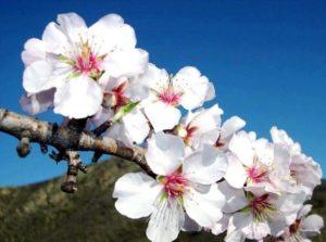 oferta flor de almendro mallorca